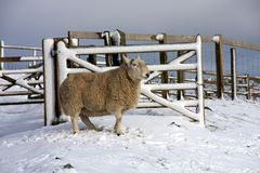 Sheep in the snow. Up in Northumberland's National park Royalty Free Stock Images