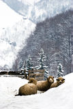 Sheep in the snow. Three sheep, winter scene at village farm Stock Photos