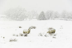 Sheep in the Snow. Sheep in a cold white winter Yorkshire landscape Royalty Free Stock Photography