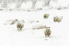 Sheep in the Snow. Sheep in a cold white winter Yorkshire landscape Royalty Free Stock Image