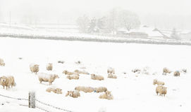 Sheep in the Snow. Sheep in a cold white winter Yorkshire landscape Stock Photography