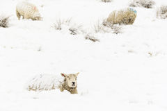 Sheep in the Snow. Sheep in a cold white winter Yorkshire landscape Stock Photos