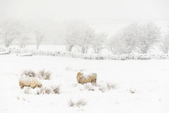 Sheep in the Snow. Sheep in a cold white winter Yorkshire landscape Royalty Free Stock Photo