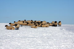 Sheep in snow covered field Royalty Free Stock Image