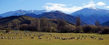 Sheep and snow covered mountains in New Zealand. On the road through New Zealand mountain landscape, flock of sheep Royalty Free Stock Images