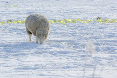 Sheep in snow. Sheep digging for food in snow Stock Images