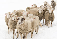 Sheep on snow Stock Images