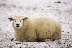 Sheep in the snow. A sheep lying in the snow Royalty Free Stock Image