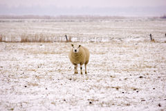 Sheep in the snow. A sheep lying in the snow Royalty Free Stock Photography