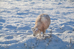 Sheep on snow pasture Stock Photos