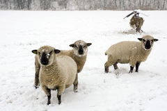 Sheep in the snow Stock Image