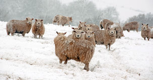 Sheep in the snow Stock Images