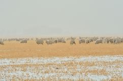 Sheep in Snow storm Royalty Free Stock Photo