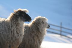 Sheep in snow. Two sheep with black and white heads with a blue snowy background Stock Photo