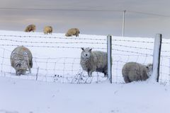 Sheep on Snow in United Kingdom. Herd of sheep on winter field in deep snow looking through barbed wire. Shropshire Hills in United Kingdom Stock Image