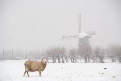 Sheep in the snow with windmill. Sheep looking into the camera in snowy meadow and windmill on background Stock Image