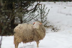 Sheep in the snow. This is sheep in the snow in winter Stock Images