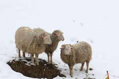 Sheep in the snow. This is sheep in the snow in winter Royalty Free Stock Images