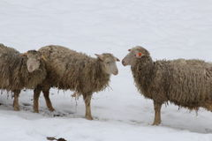 Sheep in the snow. This is sheep in the snow in winter Royalty Free Stock Photos