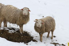 Sheep in the snow. This is sheep in the snow in winter Stock Image