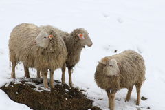Sheep in the snow. This is sheep in the snow in winter Stock Photography