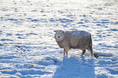 Sheep on snow in winter. Sheep outdoors on snow in winter, Holland Royalty Free Stock Photo