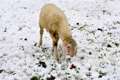 Sheep snowy Royalty Free Stock Photography