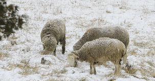 Sheep in a snowy field in winter. Some sheep in a snowy field in winter stock images