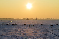 Sheep in snowy fields in the Netherlands Stock Photography