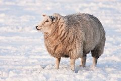 Sheep in snowy meadow in the Netherlands Royalty Free Stock Images
