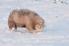 Sheep in snowy meadow  searching for grass Royalty Free Stock Photo