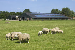 Sheep and solar panels on a farm, Netherlands. Grazing farm sheep in meadow, with lambs. The roof of the cowshed is covered with solar panels that is better for Stock Photos
