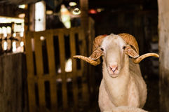 Sheep sold in the animal market for the sacrifice feast in Turkey. Bighorn ram in the barn Royalty Free Stock Photo