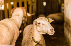 Sheep sold in the animal market for the sacrifice feast in Turkey. Portrait of a sheep in the barn Stock Photos