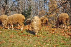 Sheep. Some sheep grazing in the meadow among fallen leaves Stock Image
