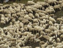 Sheep. Some sheep in a green grass Stock Photography