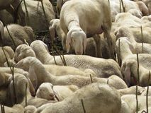Sheep. Some sheep in a green grass Royalty Free Stock Photography