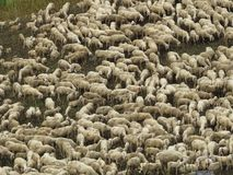 Sheep. Some sheep in a green grass Stock Images