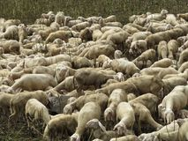 Sheep. Some sheep in a green grass Royalty Free Stock Image