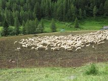 Sheep. Some sheep in a green grass Royalty Free Stock Photo