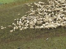 Sheep. Some sheep in a green grass Stock Image