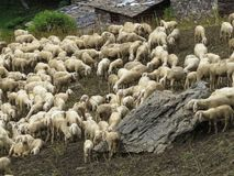 Sheep. Some sheep in a green grass Royalty Free Stock Images