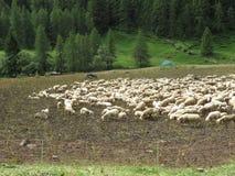 Sheep. Some sheep in a green grass Royalty Free Stock Photos