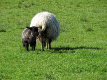 Sheep. Some sheep in a green grass Stock Photos