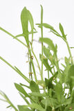 Sheep Sorrel Fresh Royalty Free Stock Images