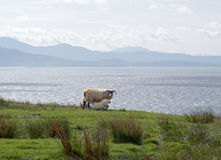 Sheep and the Sound of Sleat Stock Photography