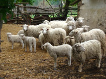 Sheep. A source of meat and wool picky animal common in Europe Royalty Free Stock Photo