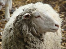 Sheep. A source of meat and wool picky animal common in Europe Royalty Free Stock Image
