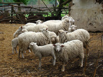 Sheep. A source of meat and wool picky animal common in Europe Stock Photography