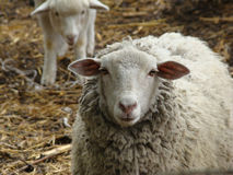 Sheep. A source of meat and wool picky animal common in Europe Royalty Free Stock Images